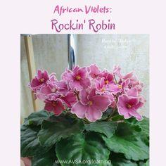 Rockin' Robin (10241) 01/27/2010 (P. Sorano/Lyndon Lyon Greenhouses) Single dark coral pansy/frilled white edge. Medium green, serrated. Standard #RockinRobin #lyndonlyongreenhouses #AVSA #africanviolet #indoorplant #houseplant #saintpaulia #senpolia #africanvioletlovers #fialka #africanvioletsocietyofamerica #africanvioletblooming #africanvioletmania #flowers #bloom #fialki #flowerstagram #flowersofinstagram #africanvioletsofinstagram Leafy Plants, Flowering Plants, Indoor Plants, Planting Flowers, Easy House Plants, Rockin Robin, Saintpaulia, African Violet, Carnivorous Plants