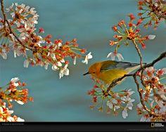 Uccello canoro su ramo di ciliegio Fotografia di Raymond K. Gehman