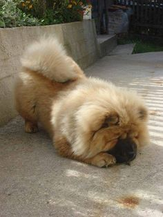 Chow Chow's are the most special of all canines.