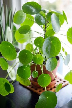 Few houseplants plants have caused such an uproar in recent times as much as Pilea peperomioides, or the Chinese Money Plant. Pilea peperomioides care is very easy and prices on these plants have come down Money Plant Care, Garden Plants, Indoor Plants, Succulent Potting Mix, Chinese Money Plant, Chinese Plants, Decoration Plante, House Plant Care, Interior Plants