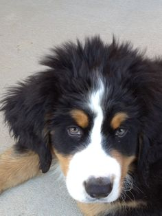 Bernese Mountain, Mountain Dogs, Cute Puppies, Dogs And Puppies, Entlebucher, Bernese Dog, Doggies, Dog Lovers, Pets