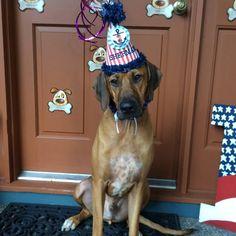 Birthday boy by Heather Greenleaf Most Beautiful Dogs, Rhodesian Ridgeback, Boy Birthday, Animals, Birthday, Doggies, Animaux, Animal, Animales