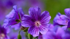 geranium systematical wallpaper download hd collection