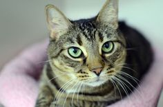Name:    Nadia .     Color:    Brown Tabby .      Breed:    Domestic Shorthair .      Gender:    Female.      Age:    2 years This animal is available for adoption at the ASPCA Adoption Center. If you are interested in adopting please call our Adoptions department in New York City at (212) 876-7700, ext. 4900