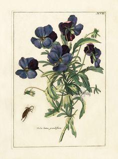 Nederlandsch Bloemwerk Botanical Prints 1794 - Viola lutea grandiflora