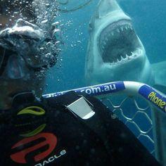 Say cheese my friend.look at those teeth. Orcas, Scuba Diving Quotes, Shark Photos, Shark Bait, Life Under The Sea, Great White Shark, Ocean Creatures, Shark Week, Killer Whales