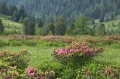 Alpenrose-Blütte im Biosphärenpark Nockberge Mountains, Nature, Plants, Travel, National Forest, Hiking, Naturaleza, Viajes, Destinations