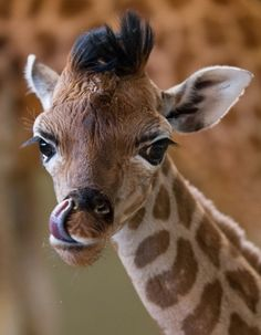 g8 pictures: Giraffe (by JasonBrownPhotography)....how bout something to eat for me...okay?