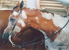 Cloudy Appaloosa All The Pretty Horses, Beautiful Horses, Spotted Horse Breed, Horse Markings, Rare Horses, All About Horses, Appaloosa Horses, Horse Girl, Horse Pictures
