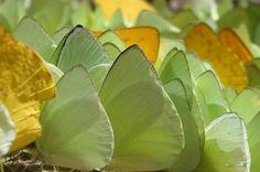 Machos de borboletas da subfamília Coliadinae procuram por sais minerais na beira dos rios da Floresta Amazônica - Foto: Fábio Paschoal