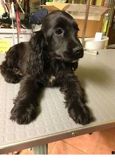 """Acquire terrific pointers on """"spaniel puppies"""". They are on call for you on our site. Cute Dogs And Puppies, I Love Dogs, Doggies, Baby Animals, Cute Animals, Spaniel Breeds, Cockerspaniel, English Cocker, Yorkshire Terrier Puppies"""