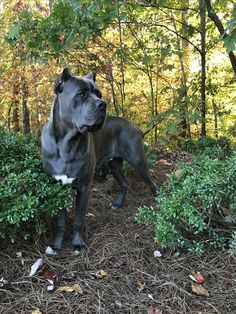 The four breeds most commonly called Mastiffs are the English Mastiff, the Neapolitan Mastiff, the Bull Mastiff and the Tibetan Mastiff. Cane Corso Italian Mastiff, Cane Corso Mastiff, Cane Corso Dog, Mastiff Breeds, Bulldog Breeds, Mastiff Puppies, Best Dogs For Families, Family Dogs, Black Cane Corso