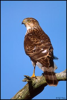 A Cooper's Hawk showed up at our bird bath today - and had a bath! (not our photo) Raptor Bird Of Prey, Birds Of Prey, Hawk Pictures, Cooper's Hawk, World Birds, Colorful Birds, Hawks, Dragonflies, Bird Feathers