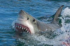 Un requin blanc via Shutterstock Les requins peuvent perdre plus de 30 000 dents durant leur vie