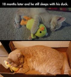 Kitty still sleeping with his stuffed animal duck! How adorable is that? --- Since 1951, the Humane Society of Fremont County has provided loving care and adoption services in Canon City, CO. canoncityhumanesociety.org/
