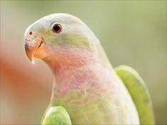 Princess Parrot - bird photography print by nature photographer and wildlife carer Angela Roberston-Buchanan. Parrot Feather, Parrot Bird, Native Australians, Australian Animals, Wildlife, Princess, Nature, Image, Portraits