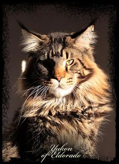 Maine Coons - you have to see these giant Maine Coons! I Love Cats, Big Cats, Crazy Cats, Cats And Kittens, Pretty Cats, Beautiful Cats, Maine Coon Kittens, Norwegian Forest Cat, Unique Cats