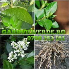 Galerie - Gard viu - Lemn Cainesc - Ligustrum ovalifolium Herbs, Plant, Herb, Medicinal Plants