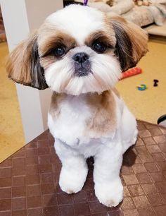90 Shih Tzu Hair Styles Ideas Shih Tzu Shih Tzu Hair Styles Cute Dogs