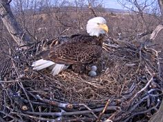 Eagle with eggs. Courtesy of Pa. Game Commission
