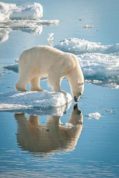 Polar bear mirror reflections in the icy water. a mirror: I am beautiful! - PHOTO CREDIT: Ice bears of Svalbard by Judith Conning Nature Animals, Animals And Pets, Cute Animals, Animals In Snow, Baby Animals, Baby Giraffes, Baby Pandas, Baby Otters, Wildlife Photography