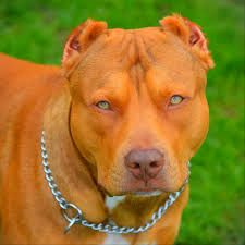 Image Result For Champion Red Nose Pitbulls