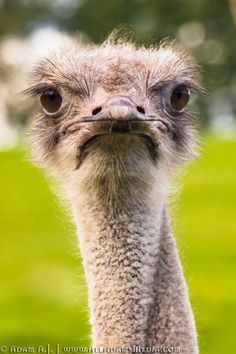Here are two interesting facts about ostriches: Knees Have you ever thought that an ostrich's knee is the wrong… by adam-aj Ostriches, Colorful Birds, Bird Watching, Fun Facts, Camel, Stock Photos, Animals, Colourful Birds, Animales