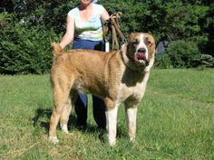 Central Asian Shepherd Dog / Alabai   Origin: Turkmenistan