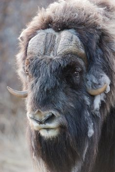Muskox (Moskus) in Dovre mountain plateau, Oppland, Norway) - - Muskox (Ovibos moschatus) at Dovrefjell National Park, Norway Yepp, the are alive and they can tolerate veeery cold climate Musk Ox, Wild Creatures, Wild Nature, Alaska, Belle Photo, Cattle, Animal Kingdom, Animals Beautiful, Pet Birds