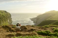 Puffin in the late evening sun Puffins, Skomer Island, Pembrokeshire, Wales