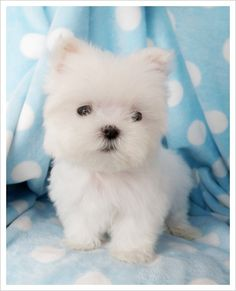 Teacup Maltese puppy - I cannot stand all the cuteness of this little dog! I want one!!