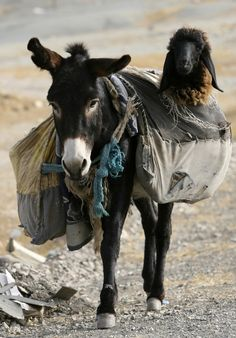 45 Adorable Animal Odd Couples  Donkey and montain sheep