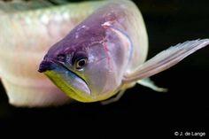 Osteoglossum Ferreirai | ... zwarte arowan in het aquarium, officiele naam Osteoglossum ferreirai