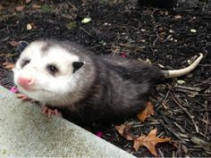 I've never understood how people could think possums are ugly Animals And Pets, Baby Animals, Wild Animals, Opossum, Tier Fotos, Kawaii, Cute Funny Animals, Animal Memes, Spirit Animal