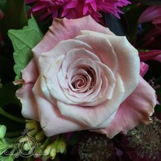 After a long break my . a pale pink to bring some to your Pale Pink, Roses, Friends, Plants, Beauty, Amigos, Pink, Rose, Plant