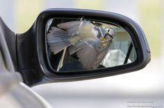 Photographie de Nathalie Santa Maria : Mésange bleue (Cyanistes caeruleus) attaquant son reflet dans le rétroviseur d'une voiture en Charente-Maritime (France) en mars 2016. #ornithologie #oiseaux #nature