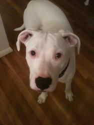 look at this angel!    Fred is an adoptable Dogo Argentino Dog in Bowie, MD.  Age: 10 months (as of October 2012) Weight: 60 lbs. Good w/Kids: yes Good w/Dogs: yes Good w/Cats: unknown ...  ...