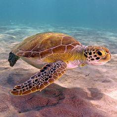 🐢❤Thought we'd start the week off with this stunner 😍. Sea Turtle Painting, Sea Turtle Art, Baby Sea Turtles, Cute Turtles, Underwater Creatures, Ocean Creatures, Sea Turtle Wallpaper, Sea Turtle Pictures, Animals Beautiful