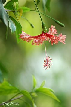 Many things are hanging by a thread - Hibiscus schizopetalus