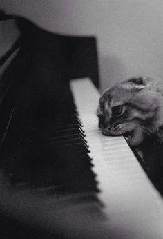 Gato afinador de pianos