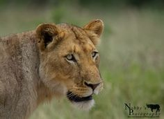 A Lion looking at prey in the distance a moment before they charge for a kill Nobby, Kwazulu Natal, Distance, Lion, Wildlife, In This Moment, Store, Animales, Leo