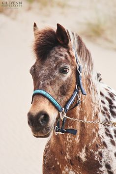 Vlekkie - Appaloosa x Fjord mix - by Bibi June Photography