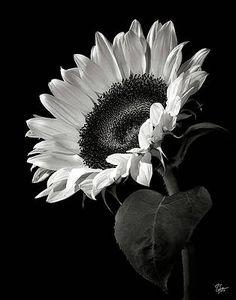 Sunflower Wall Art - Photograph - Sunflower In Black And White by Endre Balogh Black And White Picture Wall, Black And White Posters, Black And White Wallpaper, Black And White Pictures, White Art, Black Flowers Wallpaper, White Flower Pictures, White Decor, White White