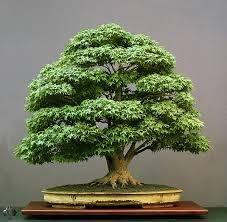 Resultado de imagen para como hacer un bonsai de pino