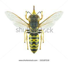 Wasp Bembix oculata (female) on a white background - stock photo