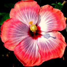 Hibiscus-I really love these flowers. I think they are amazingly beautiful!