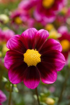 Bashful Northwest Oregon Single Swan Island blooming blooms burgundy color colorful colour dahlia dcp flower fuchsia hot pink nobody perennial perennials petals plant plant portrait summer tuber yellow