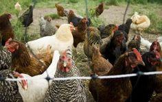 using chicken manure in your garden.
