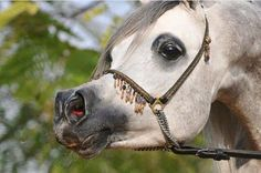 White Arabian 1