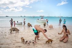 Want to see something that people won't believe once you get home – until they see the pictures, that is… Then a visit to Pig Island, which is literally home to swimming pigs, is where you'll want to go! 10 Lesser Known Caribbean Islands You NEED to Visit Pig Island Bahamas, Pig Beach Bahamas, Bahamas Pigs, Bahamas Honeymoon, Bahamas Vacation, Island Beach, Vacation Trips, Vacations, Swimming Pigs